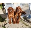 Irish Setter puppies for sale! ! !